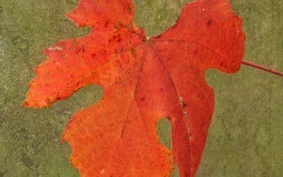 Herfstblad 3, onderdeel van serie