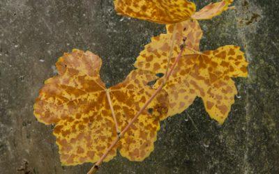 Herfstblad 1, onderdeel van serie